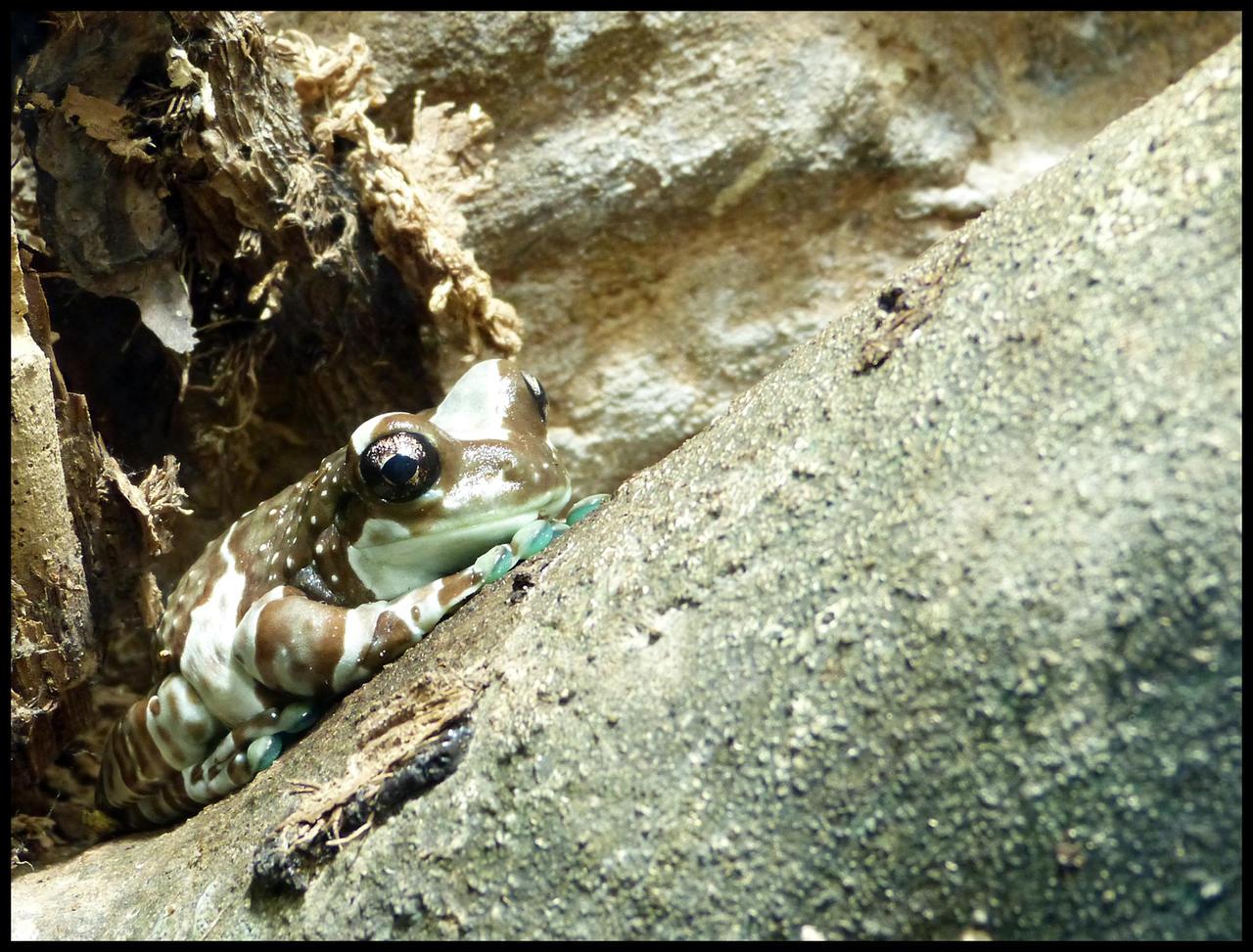 Mission golden-eyed tree frog by Seridon on DeviantArt