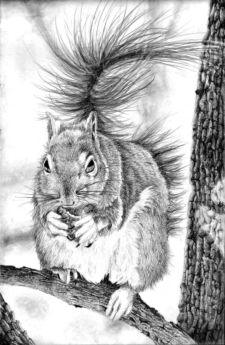 Squirrel Pencil Drawing by BannanaPower on DeviantArt