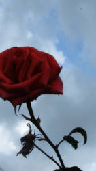 Want To Be Kissed By A Rose
