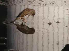 little sparrow reflexion