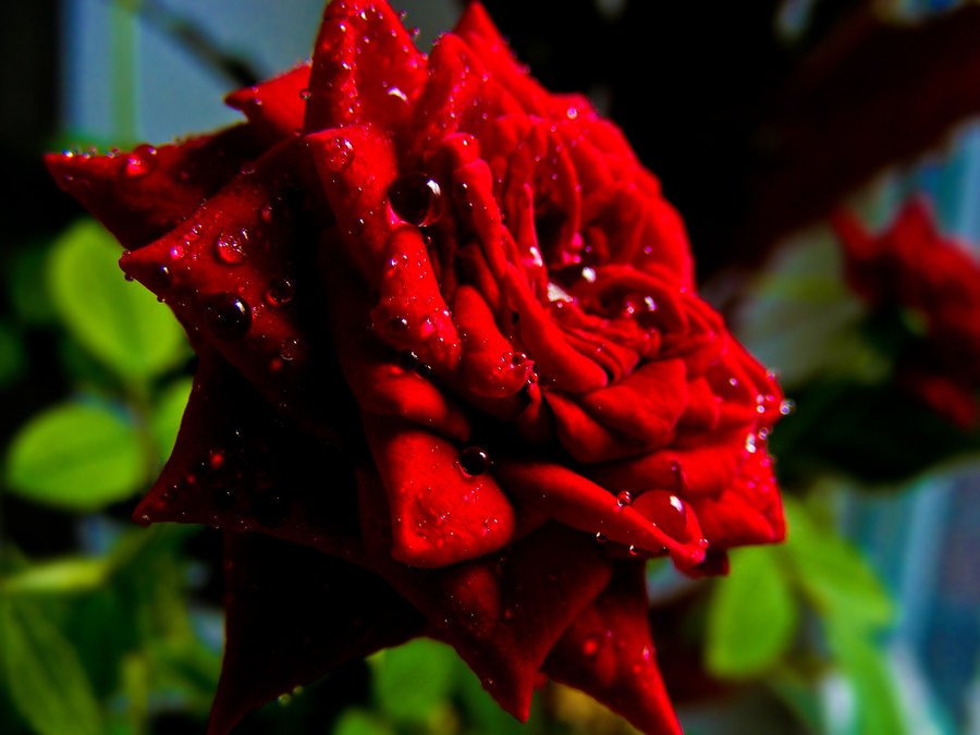 precious rose with water drops by rockmylife