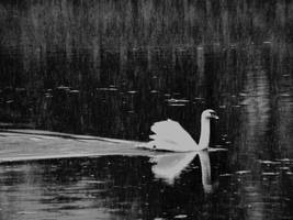 swan splendor in winter by rockmylife