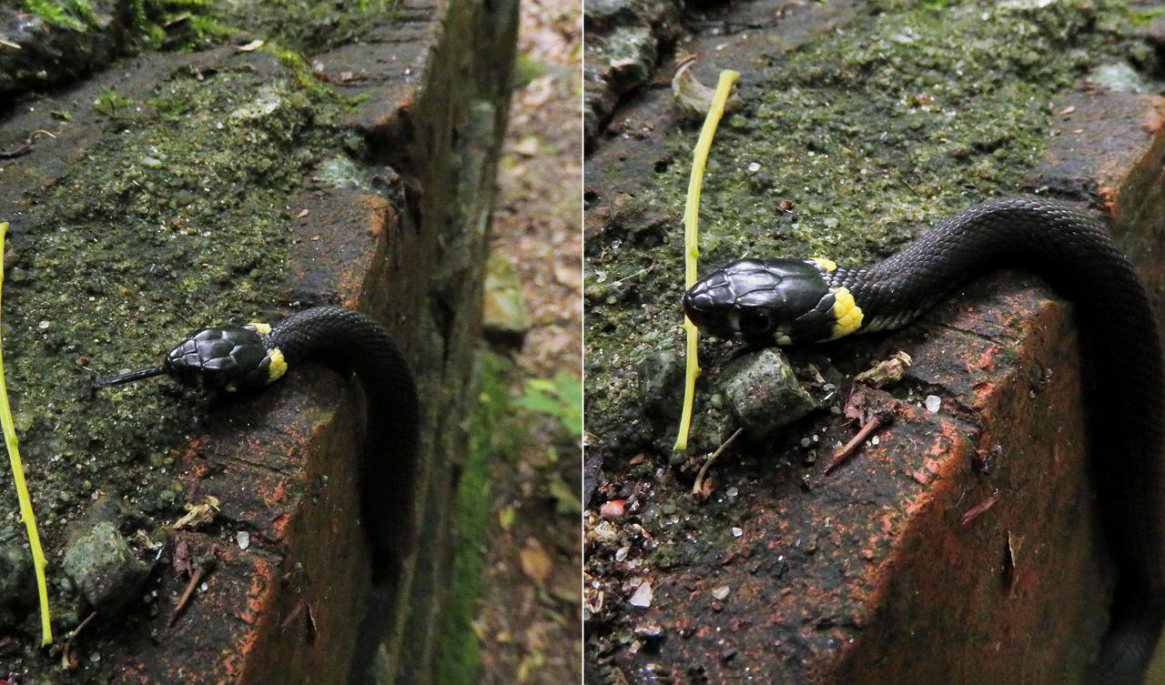 Grass snake on a ruin in the woods