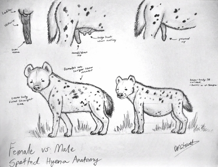 Female And Male Hyena Study By Drstoat10 On Deviantart