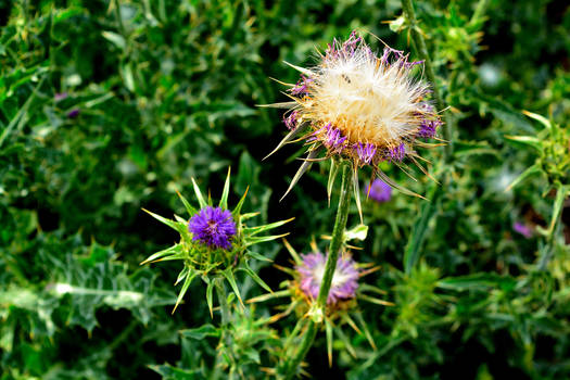 Thistles in Stage