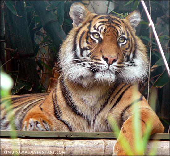 Tiger by kimu-sama