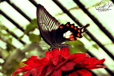 Butterfly by Alessa-Lindlay