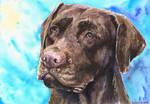 Chocolate Labrador