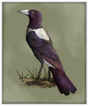 Life of the Sylvans: Violet Magpie