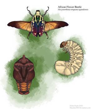 African Flower Beetle