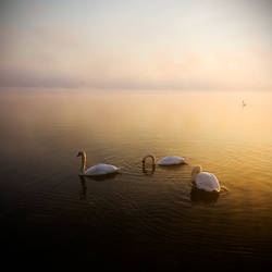 Swan 3 by darthenjoy