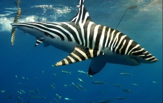 Sharkbra by Zeckiel