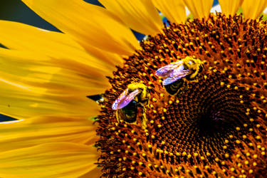 Bumble Bees by dementeddiva23