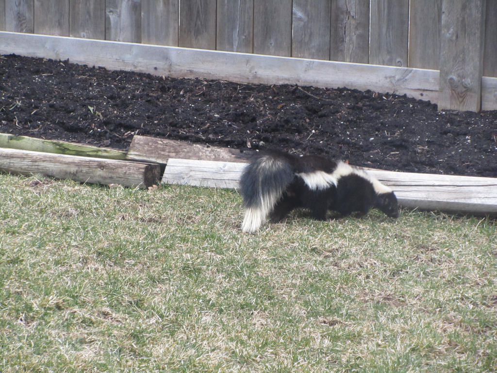 Charming In My Backyard: Giant Skunk!! By Dakari King Mykan ...