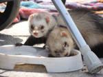 weasels in town