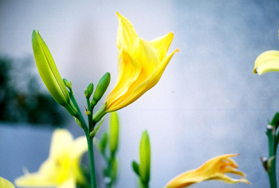 Yellow Flower - 01 by taladraco