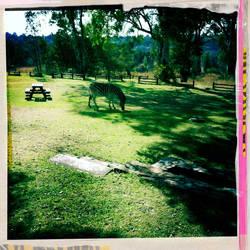 Zebras at lunch 2 by designerlizard