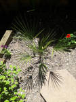 Growing Palm