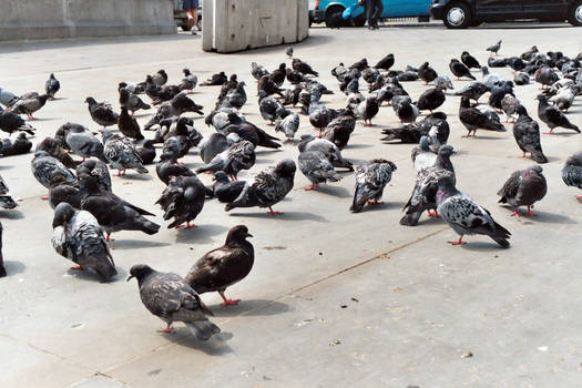 FREE STOCK, London Pigeons