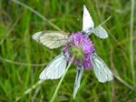 Mercantour - butterflies