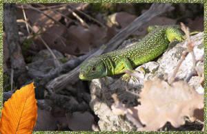 Lizard by vttiste
