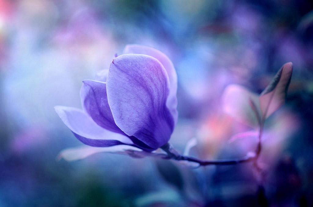 Magnolia by ajkabajka