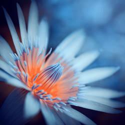 waterlily by ajkabajka
