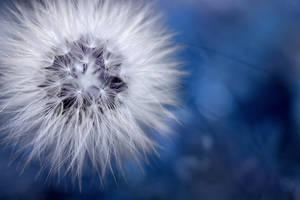 dandelion by ajkabajka
