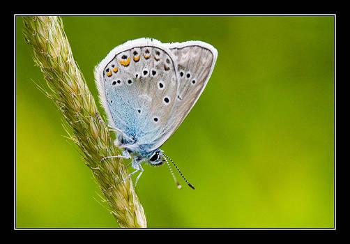 Common Blue II