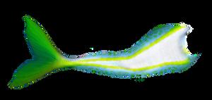 Mermaid Tail 02 (Yellowtail)