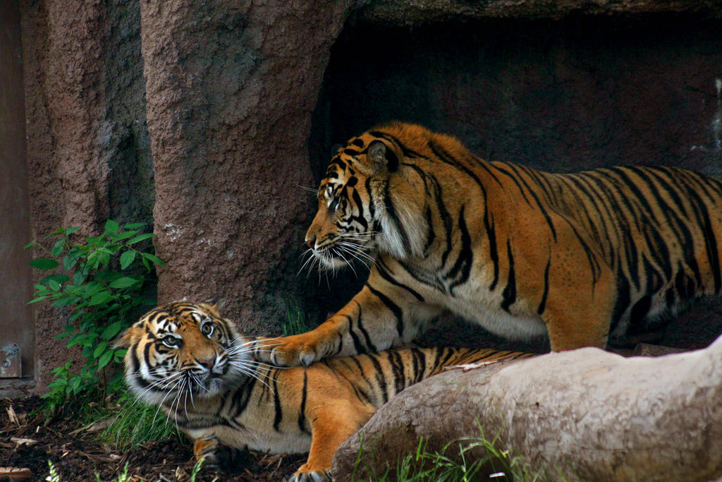 Stock - Tigers Playing by DeviantRoze