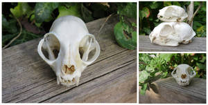 Domestic Cat Skull by Jewel-Wing