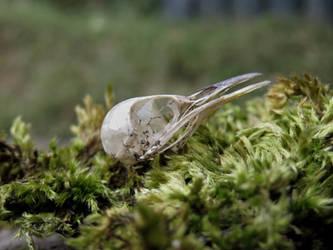 Wren Skull by Jewel-Wing