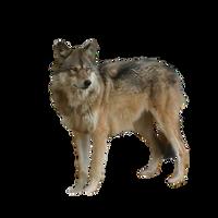 Precut Wolf1