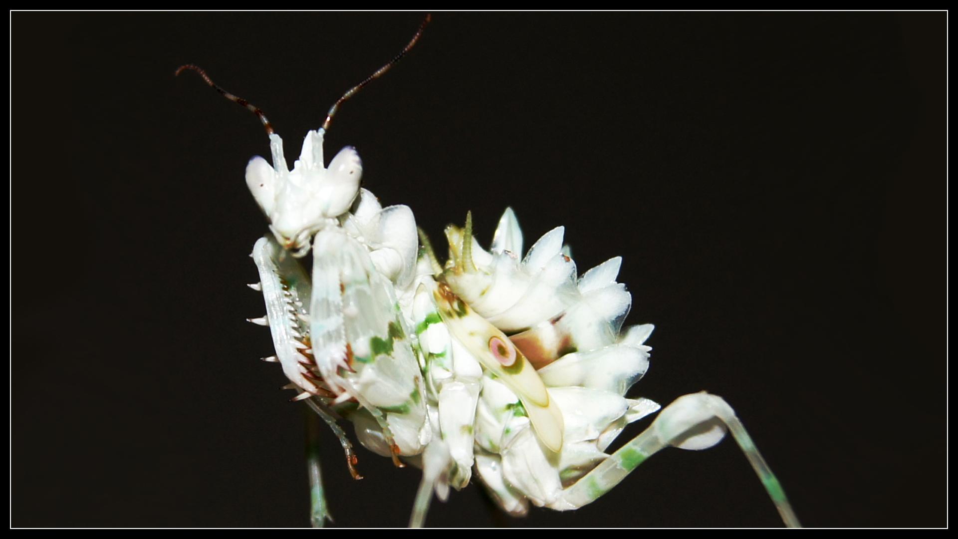 Pseudocreobotra wahlbergii L5 by Cerebrum-Vortex