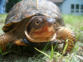 Turtle by pancakeday