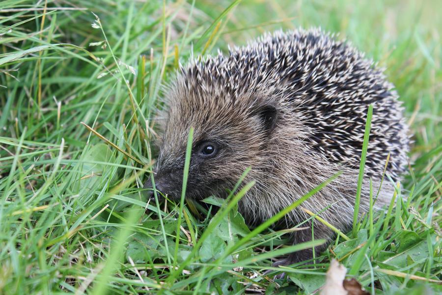 Hedgehog - in the grass by Steve-FraserUK