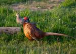 Pleasant pair of pheasants