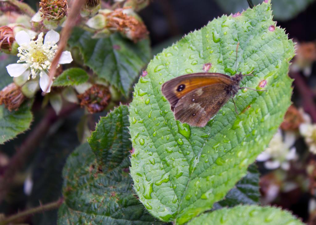 Gatekeeper or Hedge Brown (Pyronia tithonus) by Steve ...