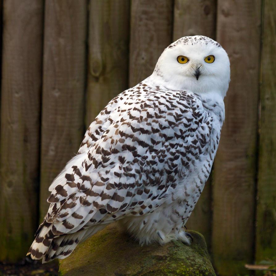Snowy Owl Cold Stare By Steve Fraseruk On Deviantart