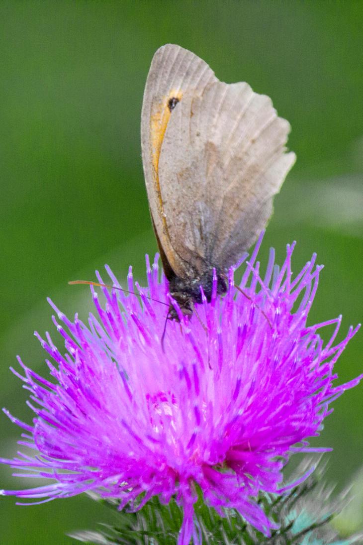 Meadow Brown (Maniola jurtina) by Steve-FraserUK