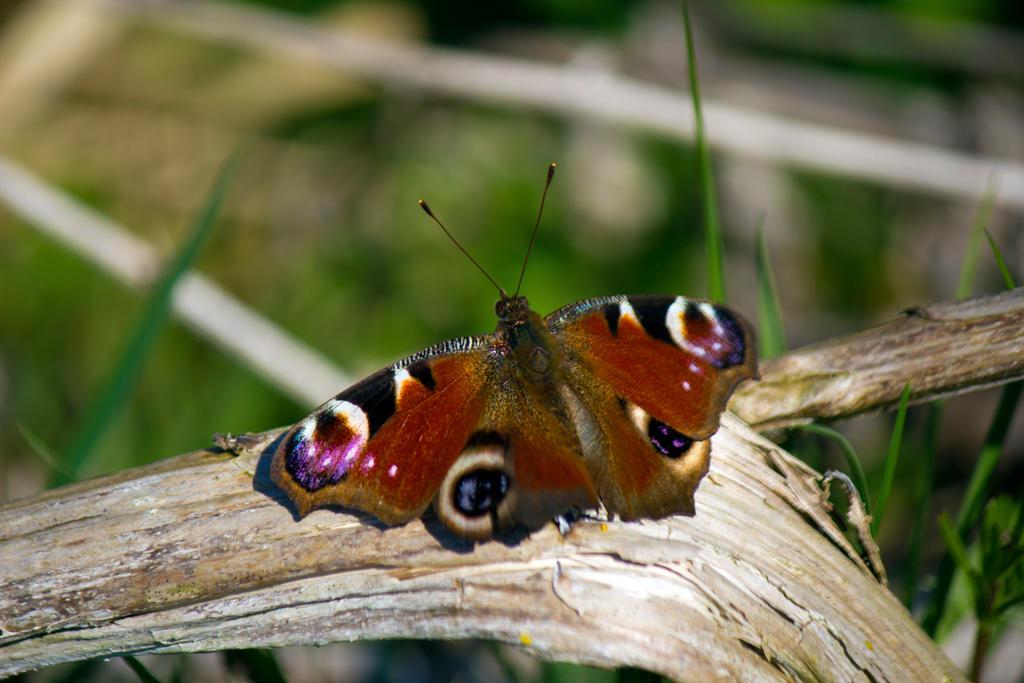 First Peacock Butterfly 2015 by Steve-FraserUK