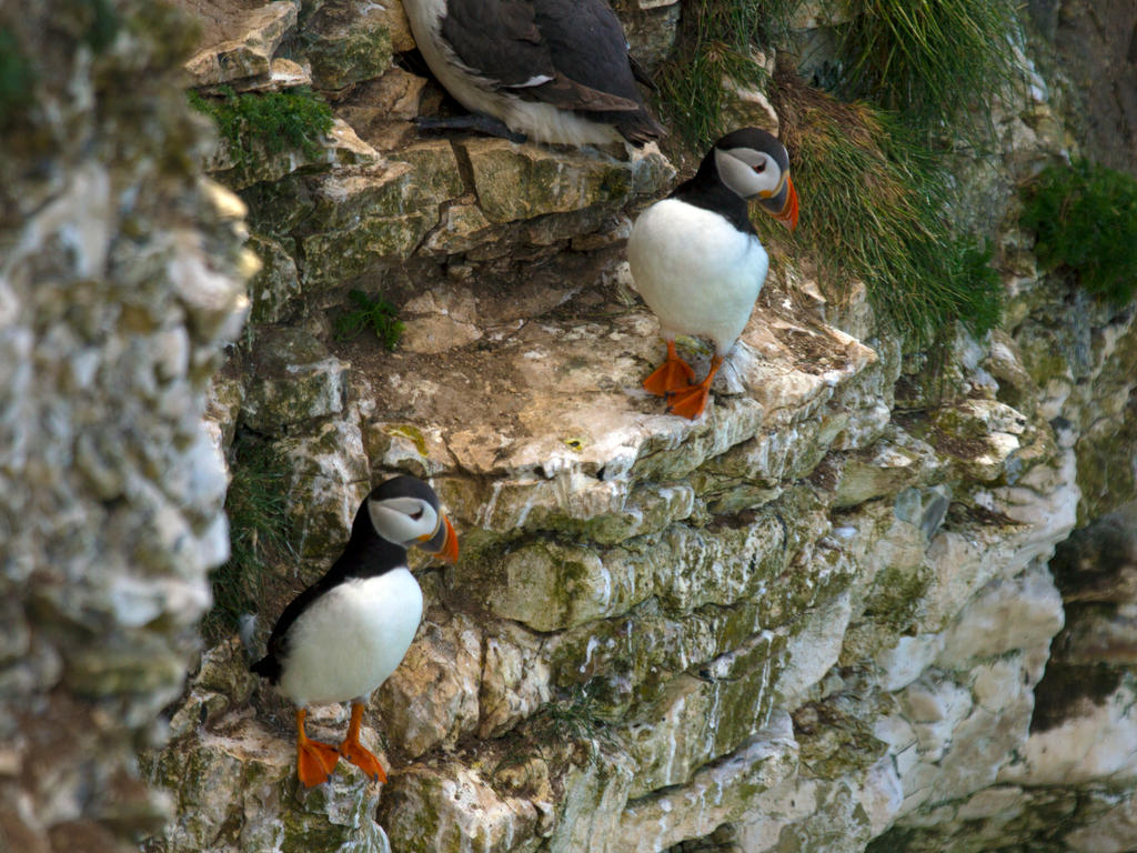 Puffins at Bempton Cliffs by Steve-FraserUK