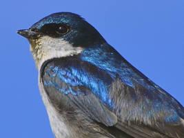 Swallow-II