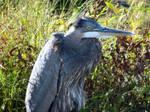 Blue Heron by BinkyLove