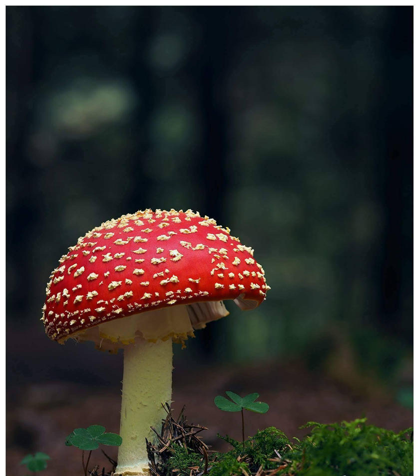 Fly Agaric by sineadob