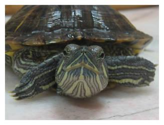 Turtle_05 by geniegirl