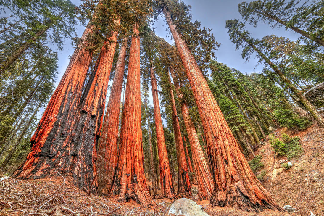 BIG Red - Sequoia by paradoxchild
