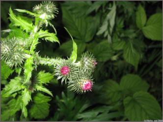 Thorn blooming by herrasus