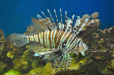 Lionfish by Florinachis